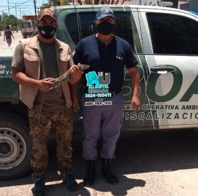 Resistencia: una iguana obera fue devuelta a su hábitat