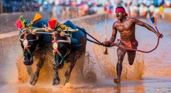 Un obrero indio bate el récord de Bolt de los 100 metros… ayudado por dos búfalos