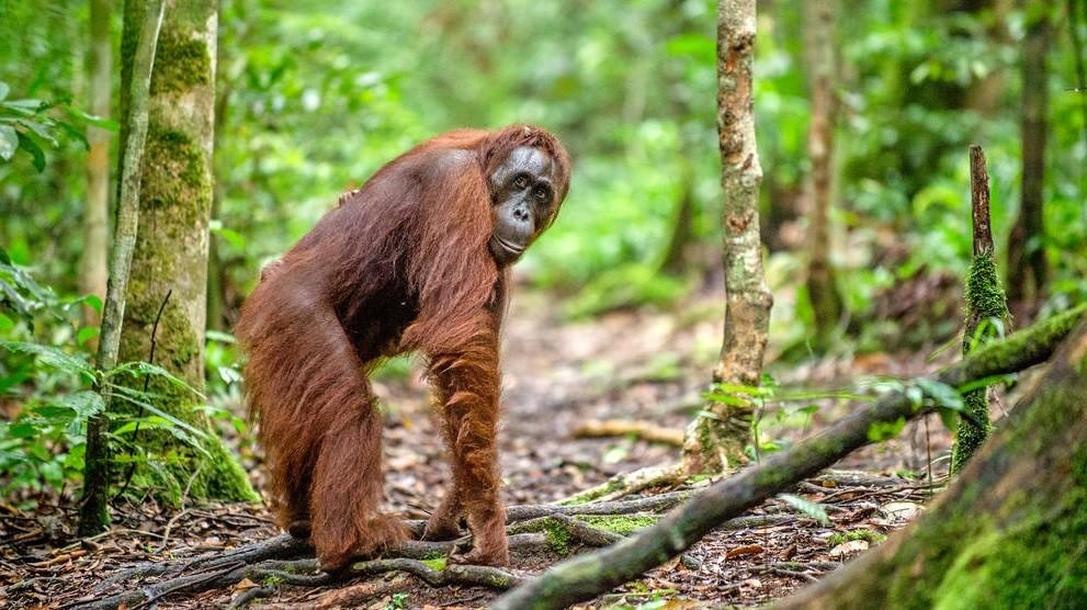 Un zoológico de Estados Unidos comenzó a vacunar simios contra el COVID-19