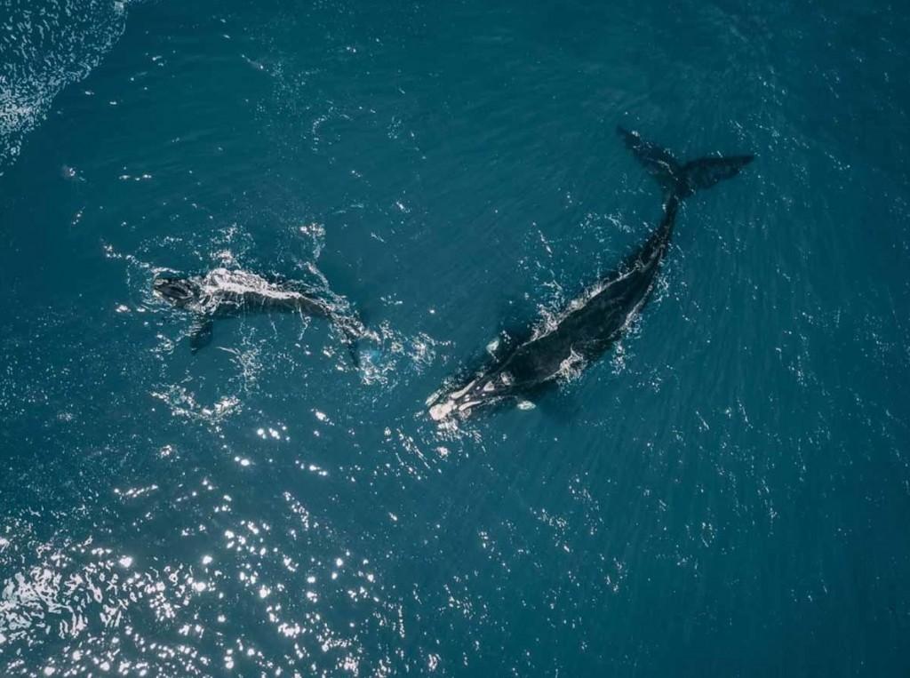 Nacieron 18 crías de ballenas francas en peligro de extinción
