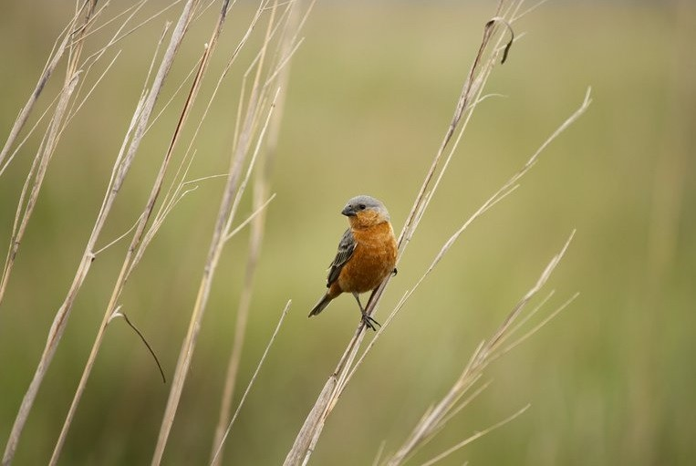 Un pájaro de los Esteros del Iberá despertó la atención de la ciencia mundial
