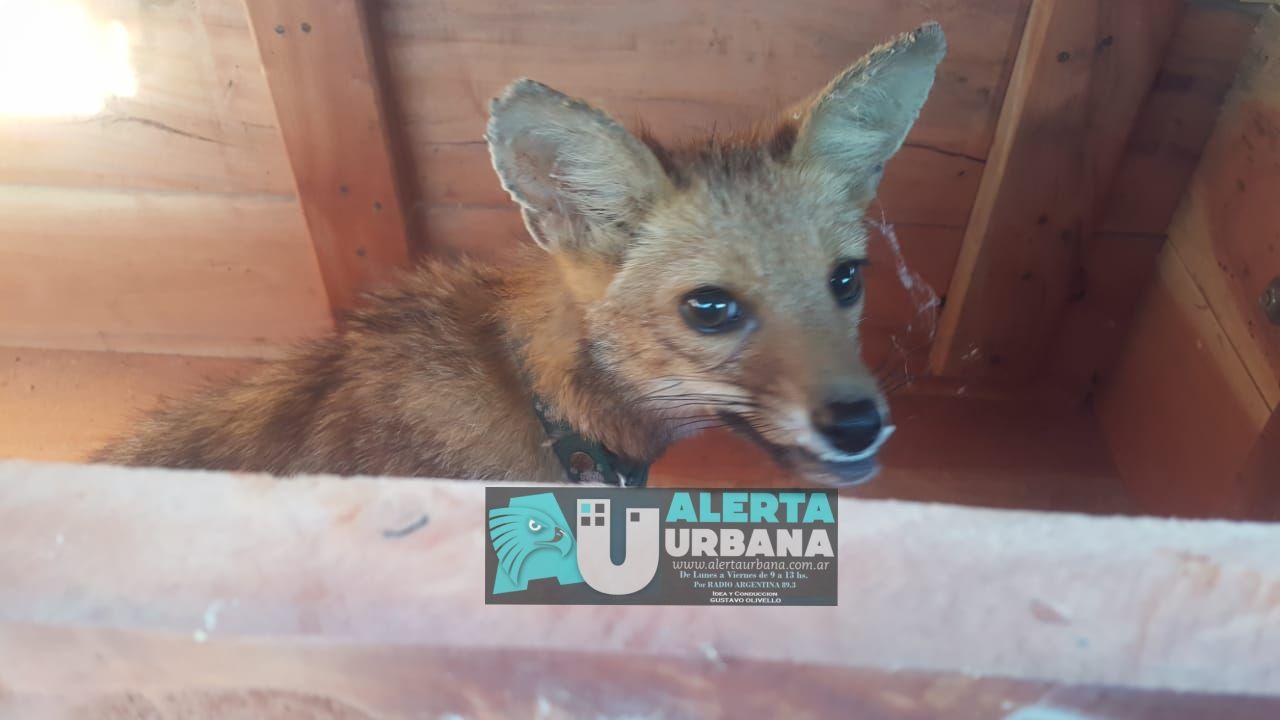 Las Breñas: rescatan a un zorro en cautiverio