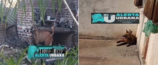 Hallazgo y devolución a su hábitat de dos Aguará Guazú en Makallé y en Vedia