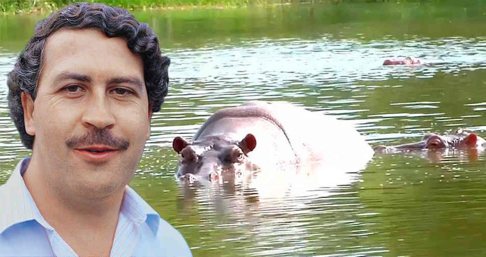 Colombia: Buscan sacrificar los hipopótamos de Pablo Escobar