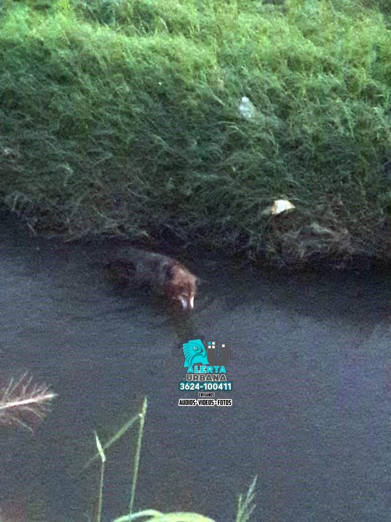 Resistencia: bomberos rescatan a un perro que cayó a un canal