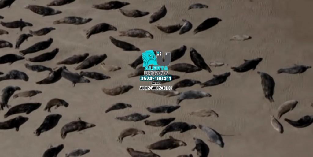Gran número de crías de foca abandonadas