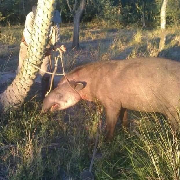 Video: mataron a un tapir en el interior del Chaco