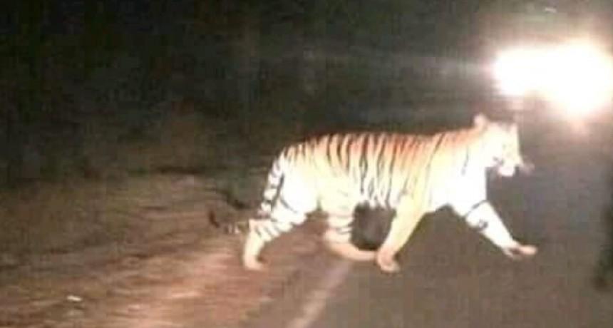No está confirmado el caso del tigre suelto en Pampa del Indio.