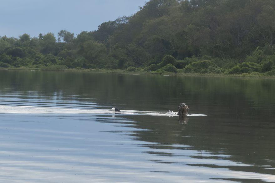 Chaco: Encontraron un ejemplar de una especie que se creía extinta en el país