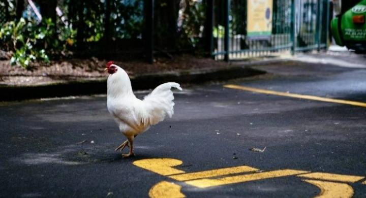 Un barrio vive aterrado por el ataque de decenas de gallinas salvajes