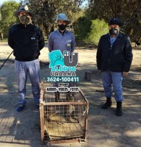 Agentes rurales descubren que en una finca tenían un puma como mascota