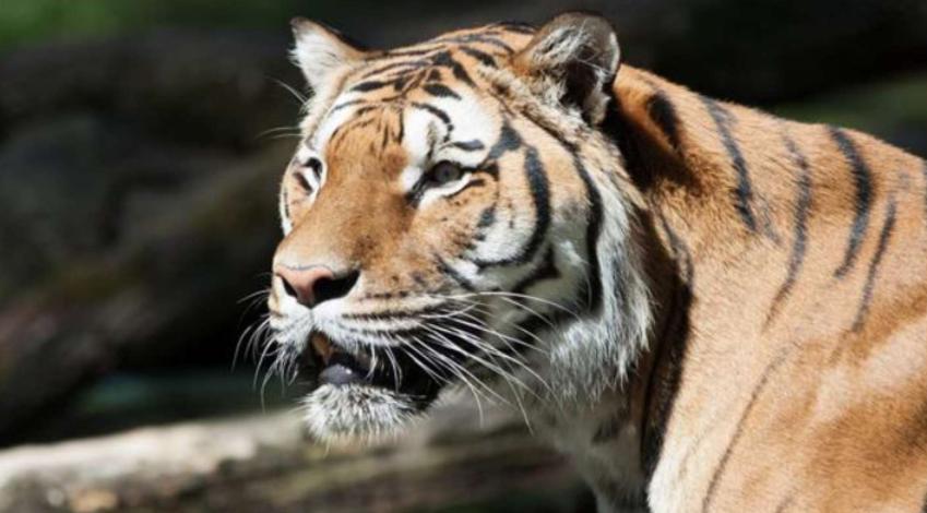 Un tigre de bengala enloqueció, saltó la reja de su jaula y mató a su cuidador y a otro animal