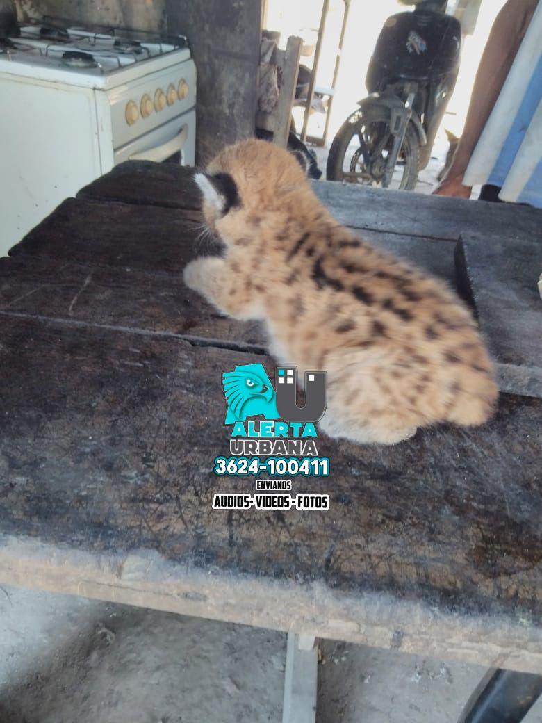 Puerto Bermejo: rescataron a un cachorro de Puma