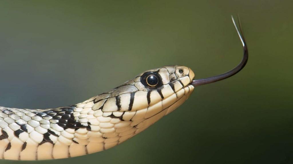 Una mujer encontró 18 serpientes debajo de su cama
