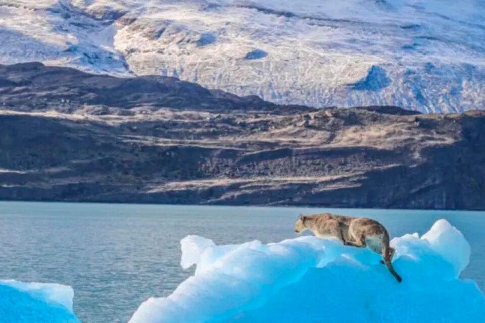 Qué pasó con el puma del iceberg que se volvió viral