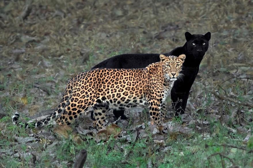 Logran fotografiar a una pantera negra y un leopardo juntos en la naturaleza