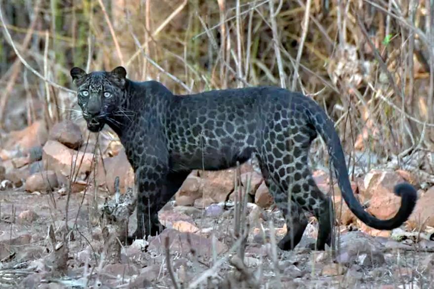 Avistan a un extraño leopardo negro durante un safari