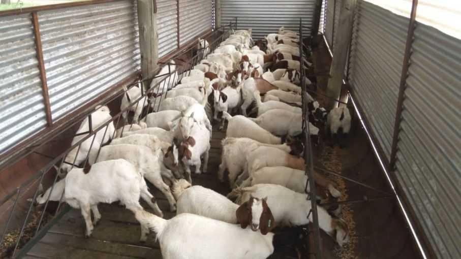 Desde El Impenetrable a las Bahamas: comienza la exportación de carne caprina