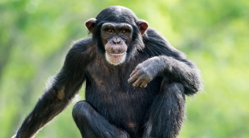 Una mujer se enamoró de un chimpancé y le prohibieron la entrada al zoológico