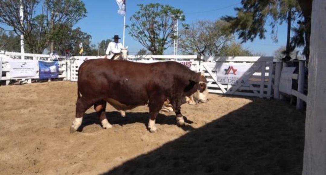 En Villa Ángela se vendió el toro más caro de Argentina: valió 8 millones de pesos