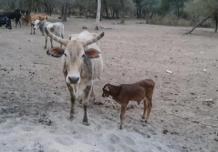 La sequía más intensa en 20 años empuja a la desesperación a campesinos del Gran Chaco.