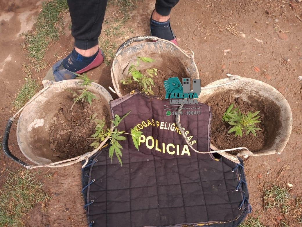 Gral. San Martín: dejo abandonado cuatro plantas de marihuana.