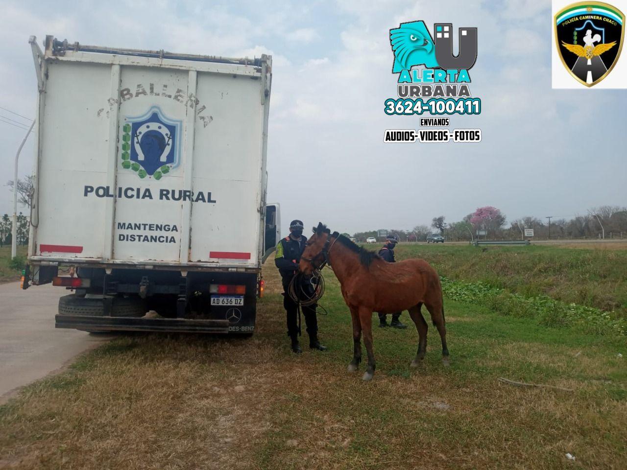 Intensos controles por parte de la Policía Caminera por animales sueltos en la ruta