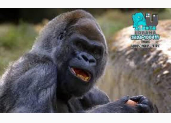 Coronavirus: Gorilas dieron positivo y están en tratamiento