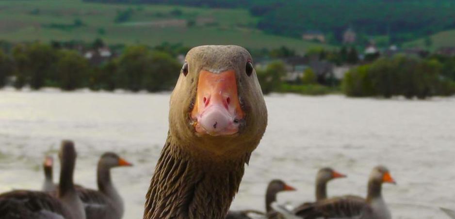 Un pato que fue investigado porque aprendió a insultar a los humanos