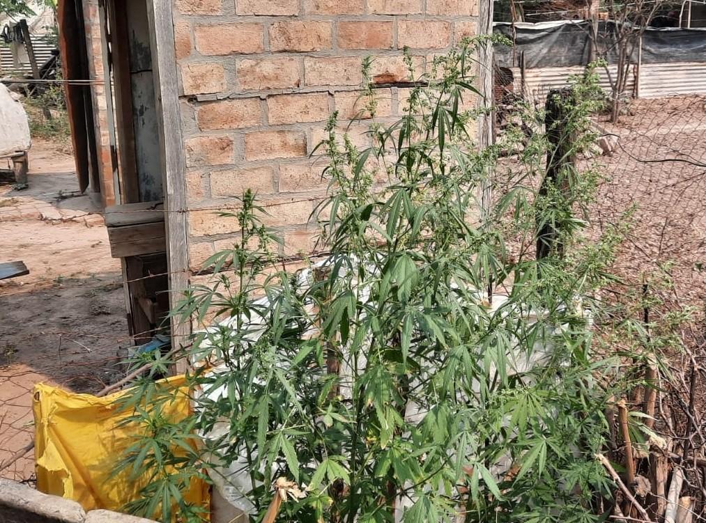 J. J. Castelli: cultivaba marihuana en su patio, las plantas fueron secuestradas