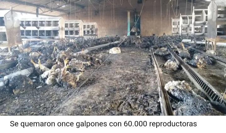 San Luis. Murieron 60.000 gallinas en un incendio y 20.000 pollitos fueron sacrificados por falta de comida.