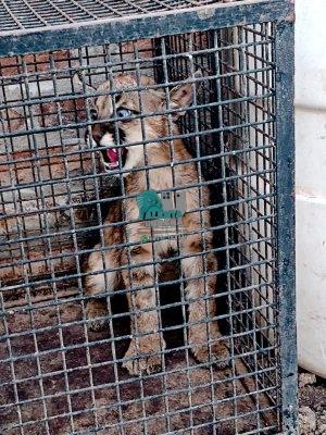 Rescatan a un puma cachorro que estaba en cautiverio.