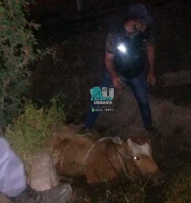 Resistencia: un animal vacuno fue rescatado de un zanjón.