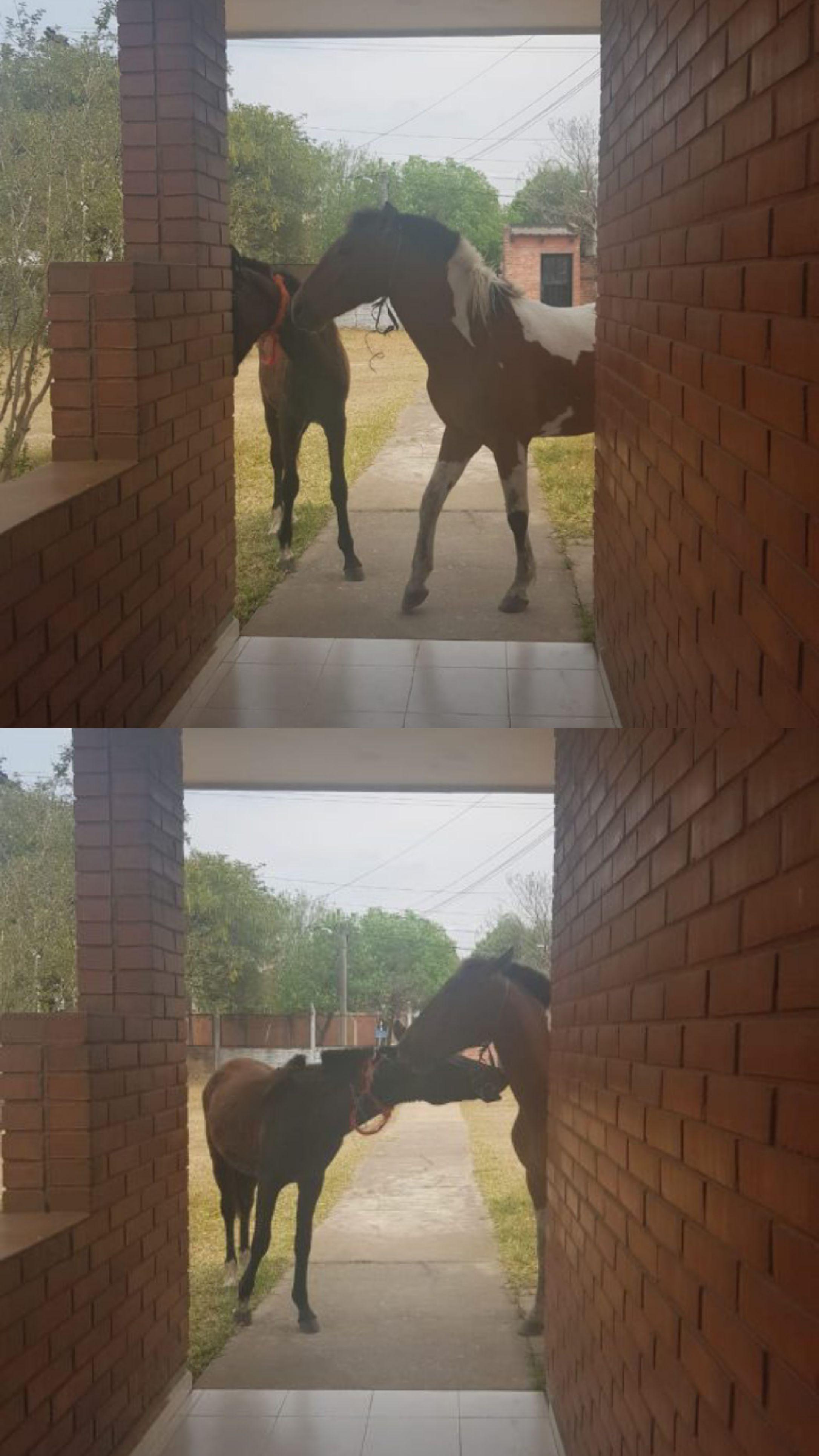 Resistencia: La Policía Rural retiró caballos sueltos en el predio de Radio Nacional.