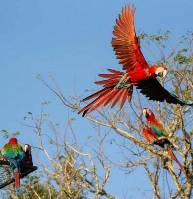 Nacieron tres guacamayos rojos en el Iberá, un 'gran paso' para recuperar la especie.