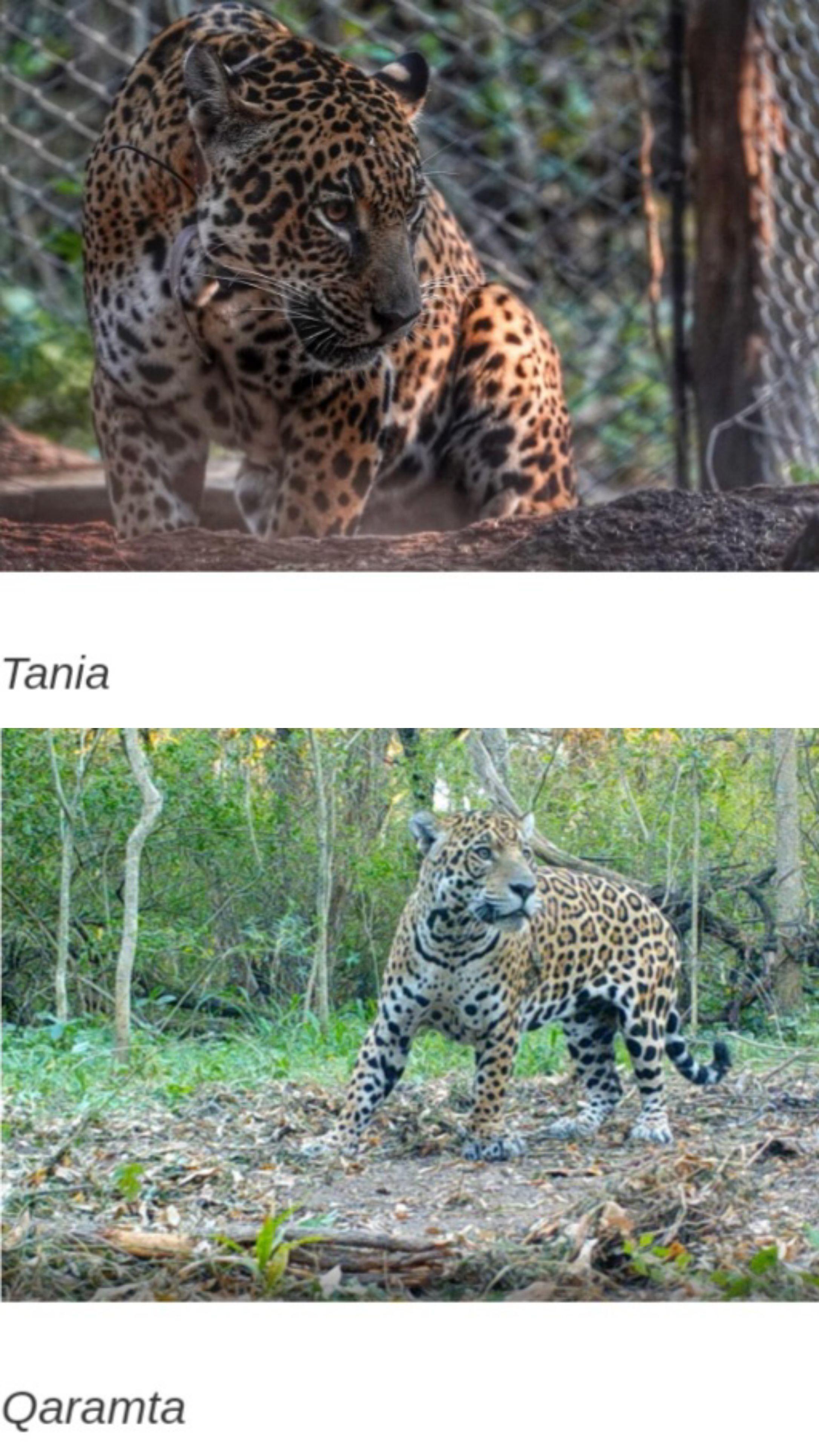 Los yaguaretés Tania y Qaramta estuvieron juntos para lograr la cruza y la descendencia de la especie.
