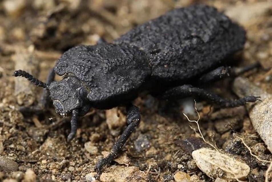 Descifraron los secretos del escarabajo acorazado, un insecto casi indestructible