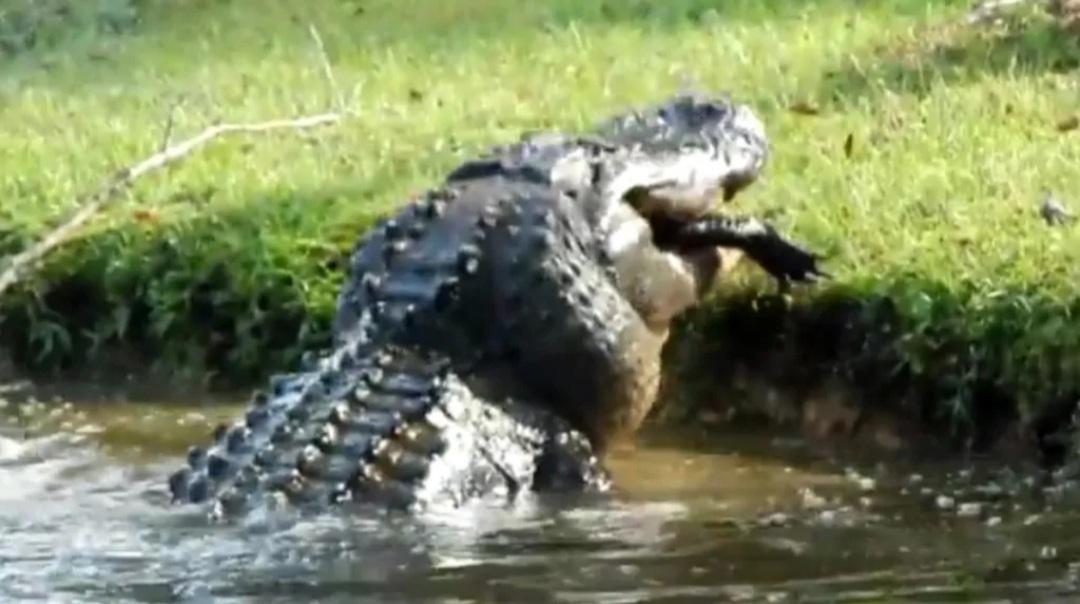 Carolina del Sur: cocodrilo gigante devora a lagarto de 2 metros