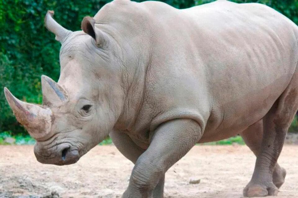 Murió en Italia el rinoceronte blanco más viejo del mundo