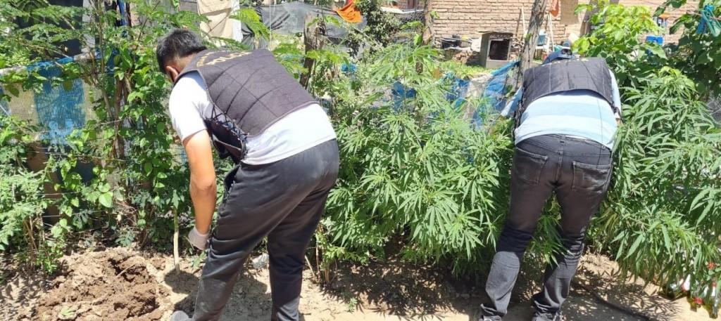 En un allanamiento secuestraron 11 plantas de marihuana