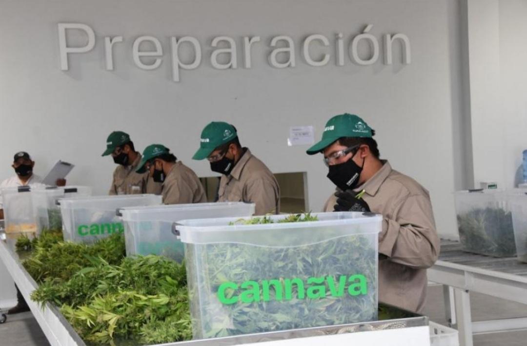Jujuy: nuevo complejo de biotecnología para la producción de cannabis medicinal
