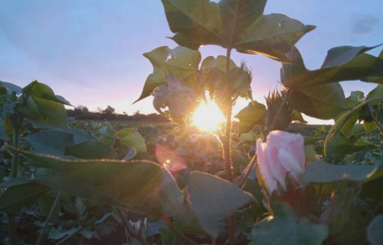 Comienza la siembra de algodón en el Chaco