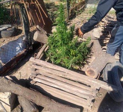 Entregó la planta de marihuana que cultivaba su nieto