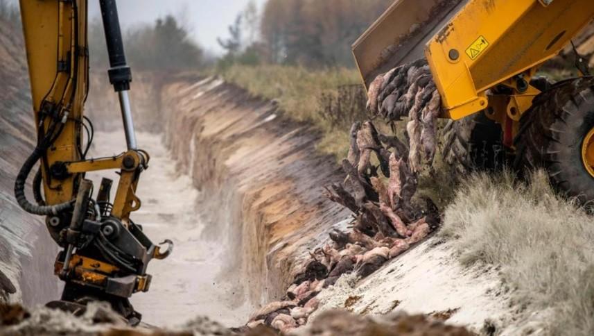 Las terribles imágenes del sacrificio de 17 millones de visones por la Covid-19