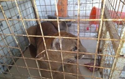 Rescatan un puma que tenían en cautiverio y detienen a cazador furtivo