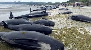 Un cententar de ballenas murieron encalladas en Nueva Zelanda